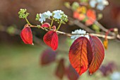 BLUEBELL ARBORETUM AND NURSERY, DERBYSHIRE: CLOSE UP PLANT PORTRAIT OF THE RED LEAVES, WHITE FLOWER OF VIBURNUM PLICATUM POPCORN. FALL, AUTUMN, AUTUMNAL, TREES, SHRUBS