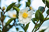 BLUEBELL ARBORETUM AND NURSERY, DERBYSHIRE: CLOSE UP PLANT PORTRAIT OF THE WHITE, YELLOW  FLOWERS OF CAMELLIA SASANQUA KENKAYO. FALL, AUTUMN, AUTUMNAL, TREES, SHRUBS