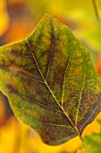 BLUEBELL ARBORETUM AND NURSERY, DERBYSHIRE: CLOSE UP PLANT PORTRAIT OF THE GREEN, YELLOW LEAF, LEAVES OF TULIP TREE - LIRIODENDRON TULIPIFERA. FALL, AUTUMN, AUTUMNAL, TREES, SHRUBS