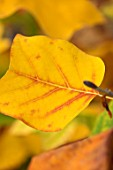 BLUEBELL ARBORETUM AND NURSERY, DERBYSHIRE: CLOSE UP PLANT PORTRAIT OF THE YELLOW LEAF, LEAVES OF TULIP TREE - LIRIODENDRON TULIPIFERA. FALL, AUTUMN, AUTUMNAL, TREES, SHRUBS