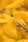 BLUEBELL ARBORETUM AND NURSERY, DERBYSHIRE: CLOSE UP PLANT PORTRAIT OF THE YELLOW LEAVES OF GINGKO BILOBA BEIJING GOLD. FALL, AUTUMN, AUTUMNAL, DECIDUOUS, FOLIAGE