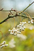 BLUEBELL ARBORETUM AND NURSERY, DERBYSHIRE: CLOSE UP PLANT PORTRAIT OF THE WHITE BERRIES OF SORBUS EBURNEA. COMPACT, ROWAN, TREES, SHRUBS, OCTOBER, FALL, AUTUMNAL, FRUITS