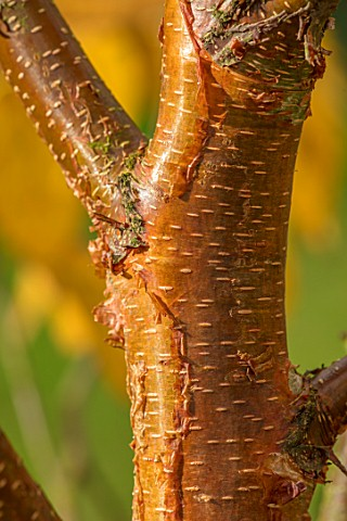 BLUEBELL_ARBORETUM_AND_NURSERY_DERBYSHIRE_CLOSE_UP_PLANT_PORTRAIT_OF_THE_BROWN_GOLDEN_BARK_OF_BETULA