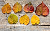 STILL LIFE ARRANGEMENT OF AUTUMN, FALL LEAVES OF CERCIS CANADENSIS RUBY FALLS. LEAVES, SHRUBS, COLOUR, OCTOBER, TREES