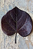 STILL LIFE ARRANGEMENT OF AUTUMN, FALL LEAF OF CERCIS CANADENSIS RUBY FALLS. LEAVES, SHRUBS, COLOUR, OCTOBER, TREES