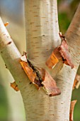 BLUEBELL ARBORETUM AND NURSERY, DERBYSHIRE: CLOSE UP PLANT PORTRAIT OF PINK, BROWN, CREAM BARK OF BETULA PINK CHAMPAGNE, TREES, TRUNKS, AUTUMNAL, FALL