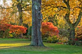 MORTON HALL, WORCESTERSHIRE: AUTUMN, FALL: LAWN, GRASS, ACER PALMATUM SEIRYU, MAPLES, JAPANESE, PRUNUS SHIROFUGEN, BORDER, TREES, SHRUBS