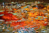 MORTON HALL, WORCESTERSHIRE: AUTUMN, FALL:  MAPLE TREE REFLECTIONS IN LOWER POND IN STROLL GARDEN. AUTUMNAL, WATER, POOL, REFLECTED, ACERS