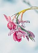 FELLEY PRIORY, NOTTINGHAMSHIRE: WINTER - CLOSE UP PLANT PORTRAIT OF SNOW ON PINK FLOWER OF SCHIZOSTYLIS COCCINEA, KAFFIR, LILY, FROSTED, SNOWY, DECEMBER