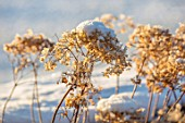FELLEY PRIORY, NOTTINGHAMSHIRE: WINTER - CLOSE UP PLANT PORTRAIT OF SNOW ON BROWN SEED HEADS OF HYDRANGEA ARBORESCENS ANNABELLE, FLOWERS. FROSTED, SNOWY, DECEMBER