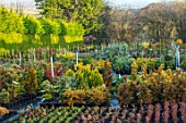 LIME CROSS NURSERY, EAST SUSSEX. WINTER, JANUARY. CONIFERS FOR SLAE IN THE STOCK BEDS