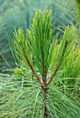 LIME CROSS NURSERY, EAST SUSSEX. WINTER, JANUARY, CLOSE UP PLANT PORTRAIT OF CONIFER - PINUS YUNNANENSIS, GREEN, LEAVES, TREES, FOLIAGE, CONIFERS, BRANCHES, YUNNAN