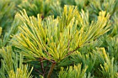 LIME CROSS NURSERY, EAST SUSSEX. WINTER, JANUARY, CLOSE UP PLANT PORTRAIT OF CONIFER - PINUS STROBUS MINIMA, LEAVES, TREES, FOLIAGE, CONIFERS, BRANCHES, GREEN, NEEDLES