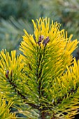LIME CROSS NURSERY, EAST SUSSEX. WINTER, JANUARY, CLOSE UP PLANT PORTRAIT OF CONIFER - PINUS MUGO GOLDEN GLOW, LEAVES, TREES, FOLIAGE, CONIFERS, BRANCHES, YELLOW