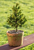 LIME CROSS NURSERY, EAST SUSSEX. WINTER, JANUARY. TERRACOTTA CONTAINER PLANTED WITH PINUS ARISTATA SHERWOOD COMPACT. GREEN, EVERGREENS, CONIFER, FOLIAGE, LEAVES, SHRUBS