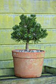 LIME CROSS NURSERY, EAST SUSSEX. WINTER, JANUARY. TERRACOTTA CONTAINER PLANTED WITH PINUS MUGO PICOBELLO. GREEN, EVERGREENS, CONIFER, FOLIAGE, LEAVES, SHRUBS