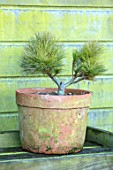 LIME CROSS NURSERY, EAST SUSSEX. WINTER, JANUARY. TERRACOTTA CONTAINER PLANTED WITH PINUS STROBUS SEA URCHIN. GREEN, EVERGREENS, CONIFER, FOLIAGE, LEAVES, SHRUBS