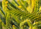 LIME CROSS NURSERY, EAST SUSSEX. WINTER, JANUARY, CLOSE UP PLANT PORTRAIT OF MONKEY PUZZLE TREE - ARAUCARIA ARAUCANA, TREES, FOLIAGE, CONIFERS, BRANCHES, SPIKES, YELLOW, EVERGREENS