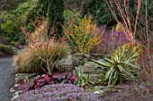BODNANT GARDEN, WALES, THE NATIONAL TRUST: THE WINTER GARDEN, YUCCA, HEATHERS, BERGENIA, HAMAMELIS X INTERMEDIA , ROCKS,  FLOWERING, WITCH HAZELS