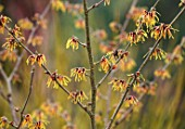 BODNANT GARDEN, WALES, THE NATIONAL TRUST: THE WINTER GARDEN. CLOSE UP PLANT PORTRAIT OF ORANGE FLOWERS OF HAMAMELIS AURORA. SCENTED, SCENT, FRAGRANT, SHRUBS, WITCH HAZELS