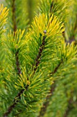 BODNANT GARDEN, WALES, THE NATIONAL TRUST: THE WINTER GARDEN. PLANT PORTRAIT OF PINUS MUGO WINTER GOLD. EVERGREENS, SHRUBS, TREES, CONIFERS, NEEDLES, FOLIAGE, GREEN, PINES