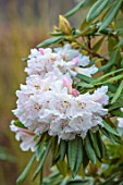 BODNANT GARDEN, WALES, THE NATIONAL TRUST: THE WINTER GARDEN. PLANT PORTRAIT OF PINK FLOWERS OF RHODODENDRON NOBLEANUM ALBUM. FLOWERING, PASTEL, SHRUBS