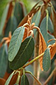 BODNANT GARDEN, WALES, THE NATIONAL TRUST: THE WINTER GARDEN, PLANT PORTRAIT OF THE LEAVES OF RHODODENDRON MALLOTUM. LATE WINTER, FEBRUARY, TEXTURES, FOLIAGE