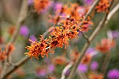 BODNANT GARDEN, WALES, THE NATIONAL TRUST: THE WINTER GARDEN, ORANGE FLOWERS OF WITCH HAZEL - HAMAMELIS X INTERMEDIA APHRODITE. FLOWERING, SHRUBS, STEMS, FRAGRANT, SCENTED