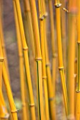 BODNANT GARDEN, WALES, THE NATIONAL TRUST: THE WINTER GARDEN, STEMS OF BAMBOO - PHYLLOSTACHYS AUREOSULCATA F. SPECTABILIS. YELLOW STEMMED BAMBOO. FEBRUARY