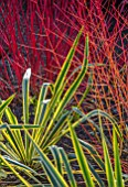 RHS GARDEN HARLOW CARR, YORKSHIRE: THE WINTER GARDEN. PLANT ASSOCIATION - YUCCA FILIMENTOSA BRIGHT EDGE, CORNUS ALBA SIBIRICA, CORNUS MIDWINTER FIRE. STEMS, FOLIAGE, COLOUR