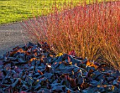 RHS GARDEN HARLOW CARR, YORKSHIRE: THE WINTER GARDEN. PLANT ASSOCIATION, COMBINATION - BERGENIA OVERTURE, CORNUS SANGUINEA MIDWINTER FIRE. COLOURFUL, STEMS