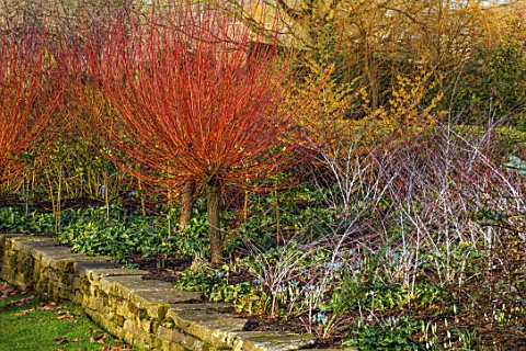 RHS_GARDEN_HARLOW_CARR_YORKSHIRE_THE_WINTER_GARDEN_WITCH_HAZEL_HAMAMELIS_X_INTERMEDIA_AURORA_RUBUS_S