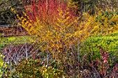 RHS GARDEN HARLOW CARR, YORKSHIRE: THE WINTER GARDEN. WITCH HAZEL, HAMAMELIS X INTERMEDIA AURORA, RUBUS, SALIX. COLOURS, COLOURFUL, PLANTING, COMBINATION, ASSOCIATION