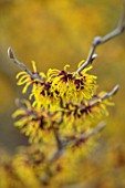RHS GARDEN HARLOW CARR, YORKSHIRE: THE WINTER GARDEN. YELLOW FLOWERS OF WITCH HAZEL - HAMAMELIS X INTERMEDIA AURORA. FEBRUARY, SCENTED, FRAGRANT, FRAGRANCE, SHRUBS