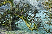 RODMARTON MANOR, GLOUCESTERSHIRE, WINTER. OLD ESPALIERED APPLE TREE IN THE KITCHEN, VEGETABLE GARDEN. ENGLISH, COUNTRY,MALUS, FRUIT, TRAINED, ESPALIERED