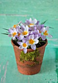 TERRACOTTA CONTAINER PLANTED WITH CROCUS SIEBERI FIREFLY, YELLOW, PALE, PURPLE, PETALS, FLOWERS, EARLY, SPRING, FEBRUARY, STILL, LIFE, COLOURFUL, BRIGHT, FLOWERING, BULBS, PETALS