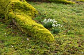 THENFORD GARDENS & ARBORETUM, NORTHAMPTONSHIRE: SNOWDROPS BESIDE THE MOSSY ROOTS OF A GREAT ASH TREE BESIDE THE WALLED GARDEN IN FEBRUARY
