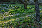 LITTLE COURT, HAMPSHIRE - ORCHARD IN FEBRUARY PLANTED WITH CROCUS TOMASSINIANUS, MEADOW, APPLE ORCHARD, NATURALIZED, BULBS, LAWN, GRASS
