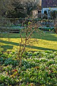 LITTLE COURT, HAMPSHIRE - BORDER WITH SNOWDROPS, GALANTHUS, ACONITES, HELLEBORES, LAWN, FEBRUARY, WINTER, GARDEN, BORDERS, CORYLUS AVELLANA CONTORTA, SHRUBS, BRANCHES
