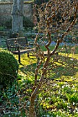 LITTLE COURT, HAMPSHIRE - WOODEN BENCH, SEAT, SNOWDROPS, GALANTHUS, ACONITES, HELLEBORES, LAWN, FEBRUARY, WINTER, GARDEN, BORDERS, CORYLUS AVELLANA CONTORTA, SHRUBS, BRANCHES