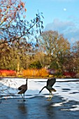 RHS GARDEN, WISLEY, SURREY: BIRD SCULPTURES IN THE LAKE AT SEVEN ACRE, IN WINTER. ART, WATER, REFLECTION, REFLECTED, REFLECTIONS, FEBRUARY, FROZEN, SNOW, LAKE, POND, POOL, CORNUS