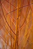 CLOSE UP PLANT PORTRAIT OF BARK OF WILLOW - SALIX ALBA VAR. VITELLINA YELVERTON - FEBRUARY, SHRUB, DECIDUOUS, BRANCH, STEM, BUD, ORANGE, BROWN
