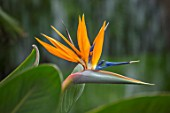 CLOSE UP PLANT PORTRAIT OF BIRD OF PARADISE FLOWER- STRELITZIA REGINAE HUMILIS. TROPICAL, EXOTIC, FLOWERING, ORANGE, BLUE, GREEN, LEAVES, HOUSEPLANTS