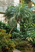 ABERGLASNEY GARDENS, CAMARTHENSHIRE, WALES. THE NINFARIUM - PHOENIX ROEBELENII - PYGMY DATE PALM. RUINS, SUB TROPICAL, CONSERVATORY, INSIDE