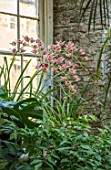 ABERGLASNEY GARDENS, CAMARTHENSHIRE, WALES. THE NINFARIUM - ORCHID GROWING BY WINDOW. RUINS, SUB TROPICAL, CONSERVATORY, INSIDE