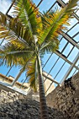 ABERGLASNEY GARDENS, CAMARTHENSHIRE, WALES. THE NINFARIUM - ARCHONTOPHOENIX CUNNINGHAMIANA. PICCABEEN PALM, RUINS, SUB TROPICAL, CONSERVATORY, INSIDE, EVERGREEN, FOLIAGE