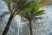 ABERGLASNEY GARDENS, CAMARTHENSHIRE, WALES. THE NINFARIUM - TWO DICKSONIA FIBROSA. RUINS, SUB TROPICAL, CONSERVATORY, INSIDE, LEAVES, FOLIAGE