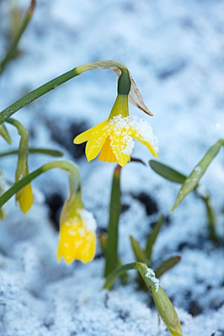 ABERGLASNEY_GARDENS_CAMARTHENSHIRE_WALES__CLOSE_UP_PLANT_PORTRAIT_OF_NARCISSUS_TETE__A__TETE_IN_SNOW