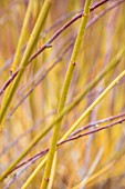 RHS GARDEN, WISLEY, SURREY: PLANT PORTRAIT OF BARK OF ACER NEGUNDO WINTER LIGHTNING - JANUARY, SHRUB, DECIDUOUS, BRANCH. YELLOW, STEMS