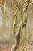 RHS GARDEN, WISLEY, SURREY: CLOSE UP PLANT PORTRAIT OF TWISTED STEMS, BRANCHES OF SALIX VANSTONES GOLD. WILLOW, BARK,, WINTER, MARCH